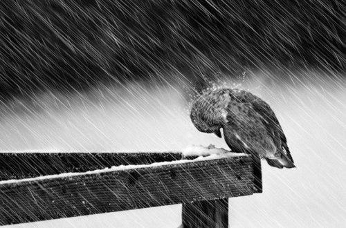 rain_poor duck